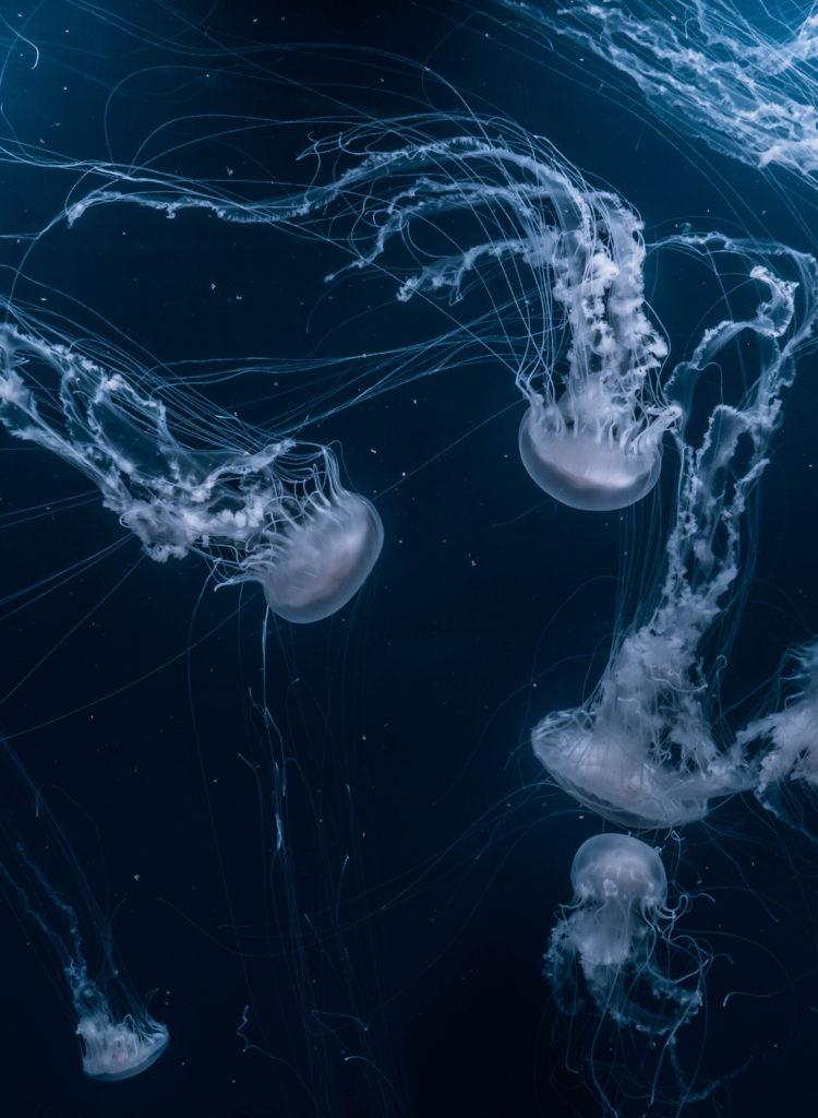 joel-filipe-jellyfish